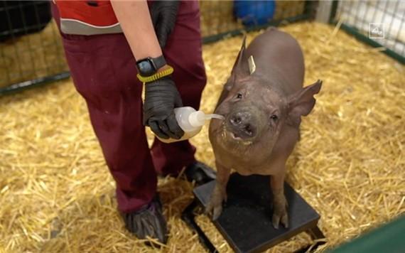 名為 Gertrude 的實驗豬,腦機接口芯片就在它的大腦上,手術傷口已較難分辨出來。(圖源:視頻截圖)
