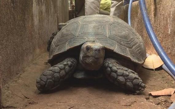 重達32公斤的珍稀烏龜。(圖源:TTO)