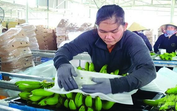 我國香蕉出口到各地市場。