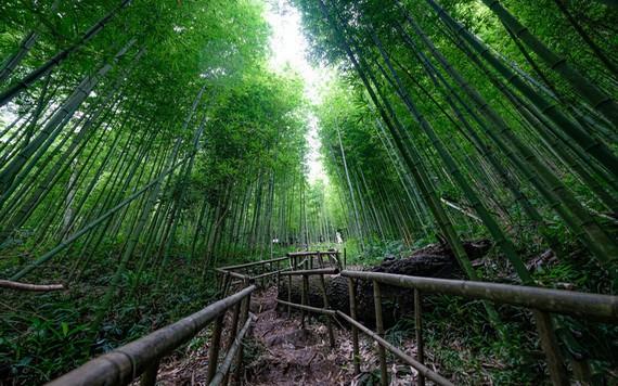 帶有原始之美的拿翰塗諸竹林。