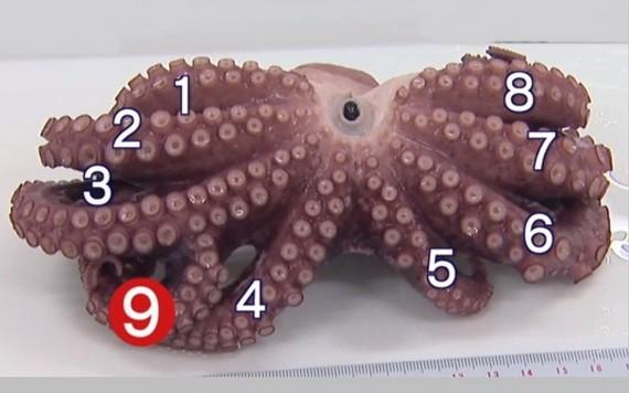 九爪章魚在第3隻腳中間分岔長出另1隻較小的腳。(圖源:互聯網)