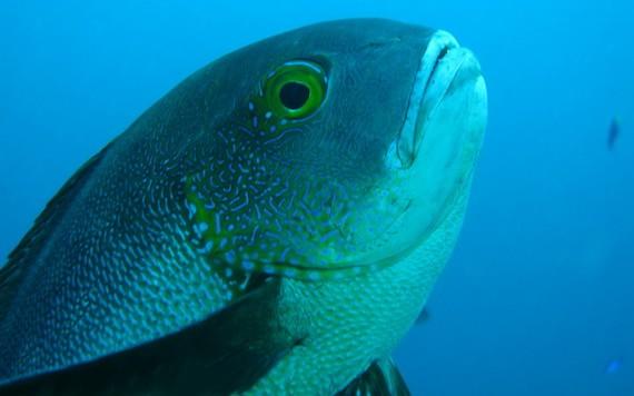 81歲的斑點笛鯛成為全球最老的珊瑚礁魚。(圖源:澳大利亞海洋學研究所)