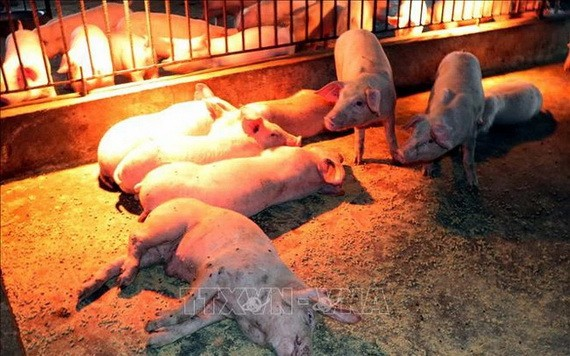 感染非洲豬瘟而引發厭食、腹瀉及死亡的病豬。(示意圖源:越通社)