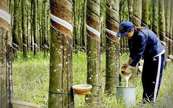 一名女工在橡胶树林裡收穫液体橡胶。(图源:垂杨)