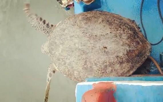 珍稀麗龜被放歸大海