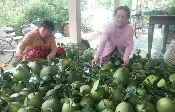 槟椥省农民收穫柚子。