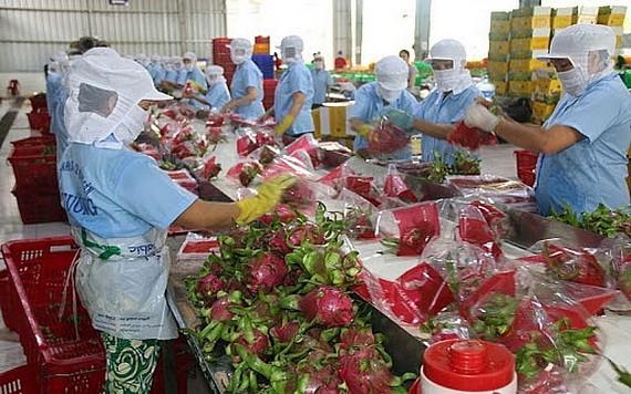 越南火龙果外销印度市场。