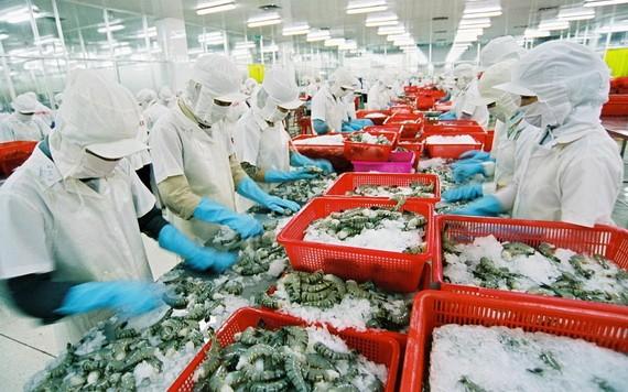 图为黑虎虾粗加工工段。