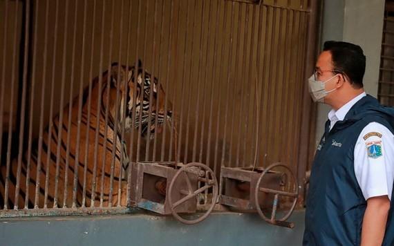 印度尼西亞官員1日表示,兩隻蘇門答臘虎在感染新冠病毒後正在雅加達動物園康復,他們正在調查這些極度瀕危動物的患病原因。(圖源: AP)