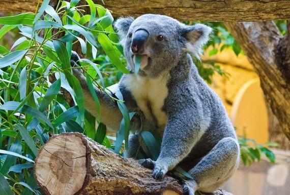 澳大利亞的考拉數量在過去3年內銳減了約30%。(圖源:VCG)