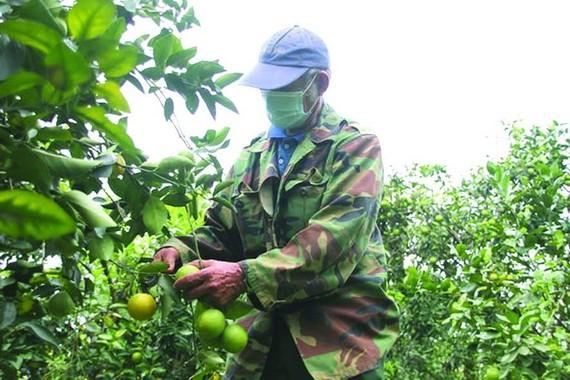 農民在收獲橙子。