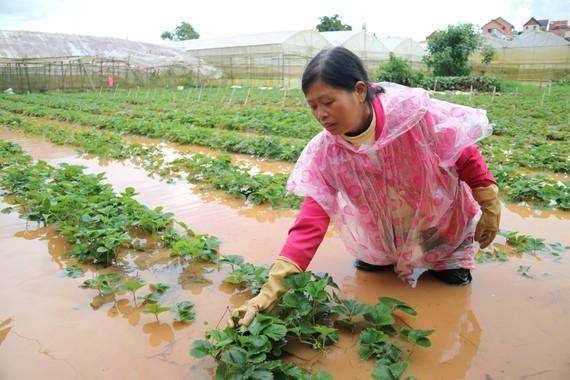 Vườn dâu của người dân khu vực phường 9, TP Đà Lạt bị ngập sâu trong nước. Ảnh: ĐOÀN KIÊN