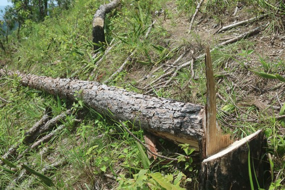 """UBND tỉnh Lâm Đồng chỉ đạo điều tra vụ """"cạo trọc"""" rừng thông lấy đất sản xuất"""