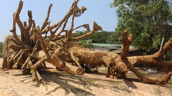 Ba cây khủng đang bị tạm giữ tại Thừa Thiên - Huế