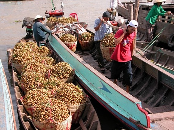 Longan harvested in the Mekong Delta (Photo: SGGP)