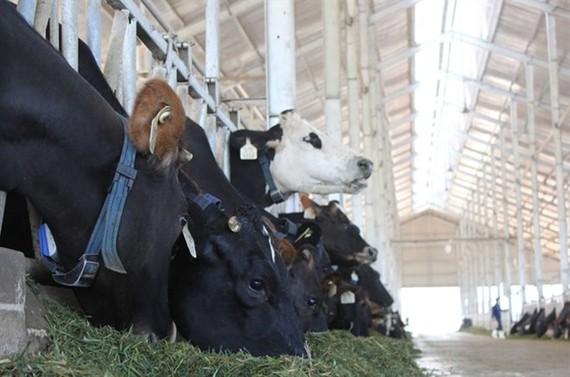 Vinamilk's organic dairy farm in Da Lat (Photo: VNA)