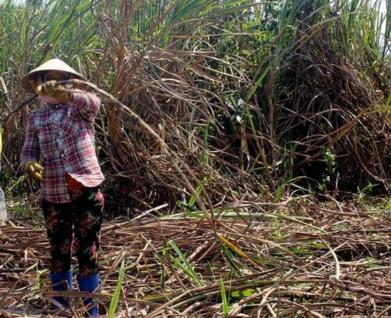 Farmers have to dump sugarcanes because traders do not show up. (Photo: SGGP)