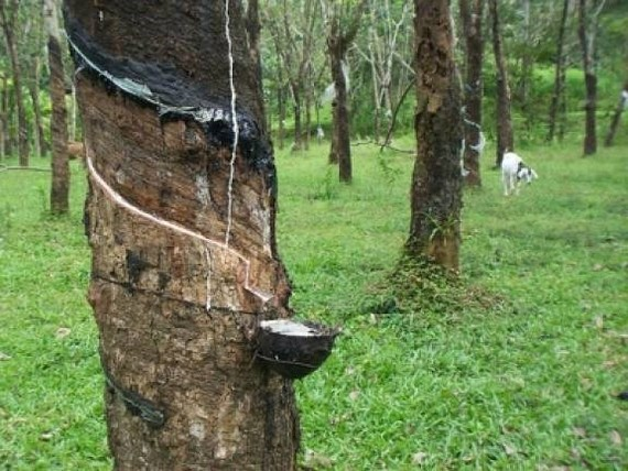 Malaysia's natural rubber production slides 32.4 percent month on month to 33,864 tonnes in April. (Photo: thesundaily.my)