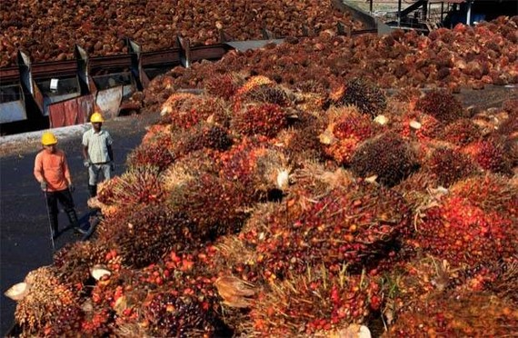 Malaysia plans to raise its export tax for crude palm oil for January 2020, for the first time in one-and-a-half years. (Photo: Thestar.com.my)