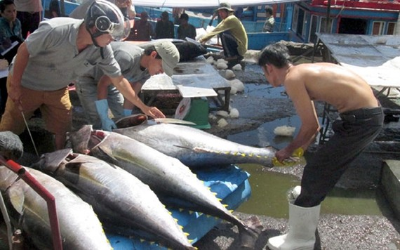 Tuna transported for sale in Khanh Hoa Province. The EU will eliminate tariffs on fresh and frozen Vietnamese tuna products once theEuropean-Vietnam Free Trade Agreement comes into effect in August. Photo courtesy of VASEP