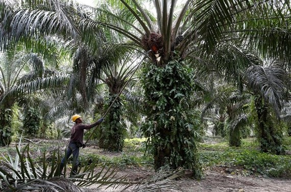 A worker collects palm oil fruits (Photo: Reuters)