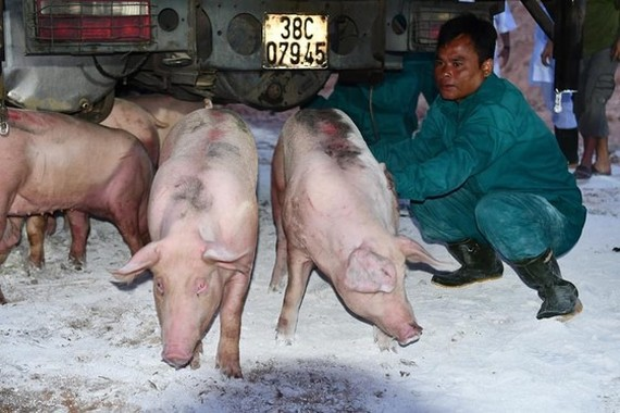 Gilts imported from Thailand to Vietnam through Lao Bao Border Gate in Quang Tri Province will be quarantined before being transported to farms for repopulation (Photo: the Ministry of Agriculture and Rural Development)