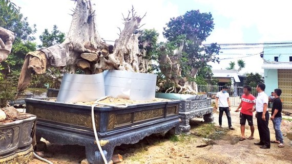 Giant old-growth trees on sales in Phu Cat district market, Binh Dinh province (Photo: SGGP)