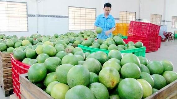 Bưởi da xanh ở ĐBSCL luôn hút hàng trên thị trường xuất khẩu