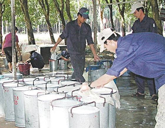 Thu hoạch mủ cao su tại Đông Nam bộ