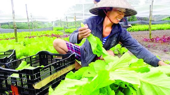 Thu hoạch rau tại một HTX trên địa bàn xã Xuân Thới Thượng, huyện Hóc Môn, TPHCM