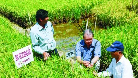 GS - TS Võ Tòng Xuân (giữa)  và kỹ sư Hồ Quang Cua (bìa trái)  nghiên cứu giống lúa thơm ST. Ảnh: Cao Phong