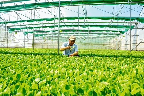 Trồng rau màu công nghệ cao ở An Giang.