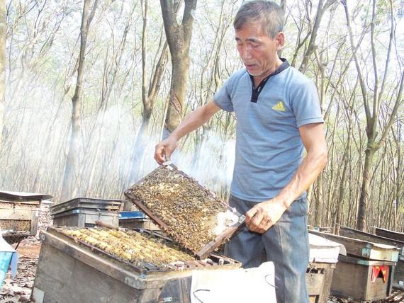 Nuôi ong lấy mật dưới tán rừng cao su