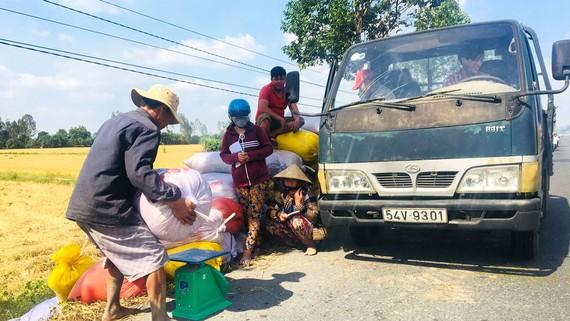 Nông dân ĐBSCL bán lúa tại ruộng