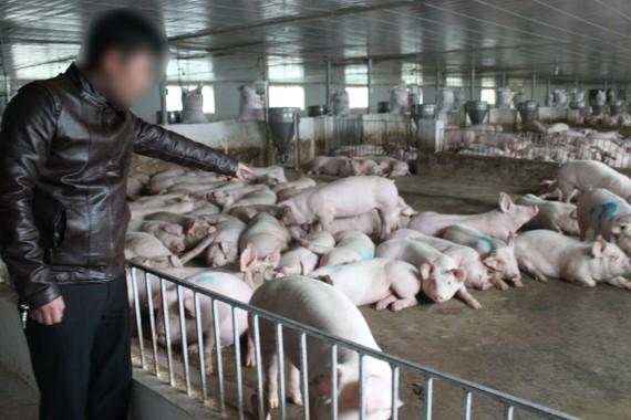 Nhiều người dân chăn nuôi heo quy mô lớn ở tỉnh Hà Tĩnh đang gặp khó khăn