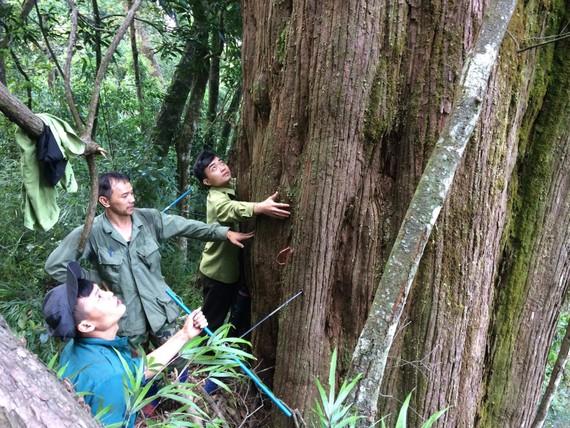 Phần gốc của cây pơ mu ở Vườn Quốc gia Vũ Quang