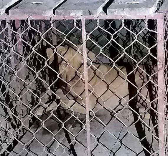 Con chó đã được bắt nhốt lại