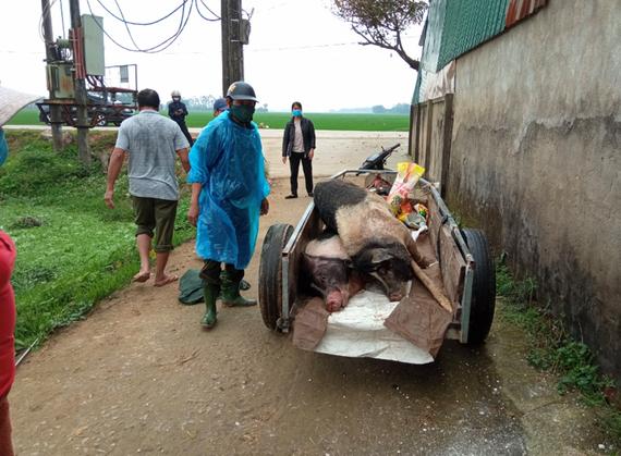 Dịch tả heo châu Phi vừa qua đã gây thiệt hại lớn cho người dân ở huyện Đức Thọ, tỉnh Hà Tĩnh