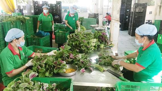 Nhà sơ chế của HTX Phú Lộc, huyện Củ Chi, TPHCM