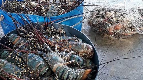 Tôm hùm thương phẩm, đủ kích cỡ chết hàng loạt tại vùng biển Sông Cầu (Phú Yên) trong các ngày từ 24 đến 26-5 và 1 đến 6-6-2017