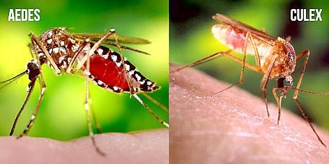 Muỗi thường vẫn truyền virus Zika?