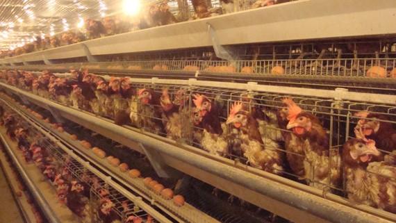 Trang trại gà đẻ trứng trên dây chuyền tự động  của một doanh nghiệp TPHCM liên kết, đầu tư  tại huyện Tân Uyên, tỉnh Bình Dương