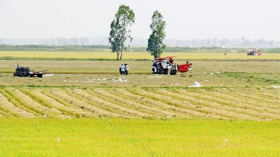 Nông dân vùng Đồng Tháp Mười (huyện Tân Hưng, Long An) thu hoạch lúa. Ảnh: HẢI PHONG