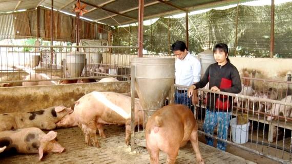 Nhiều chủ trang trại heo ở Đồng Nai buồn vì giá heo không tăng