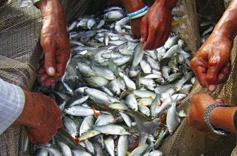 Đồng Tháp: Cấm khai thác thủy sản trong mùa sinh sản