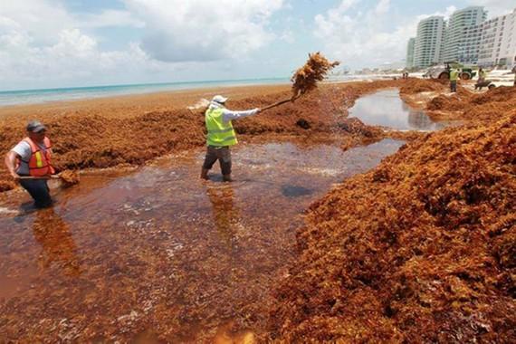 Tảo đuôi ngựa xâm chiếm các bãi biển Mexico