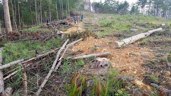 Rừng phòng hộ Phi Liêng bị phá tan hoang. Ảnh: ĐOÀN KIÊN