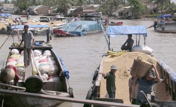 Thương lái thu mua lúa Đông Xuân ở ĐBSCL