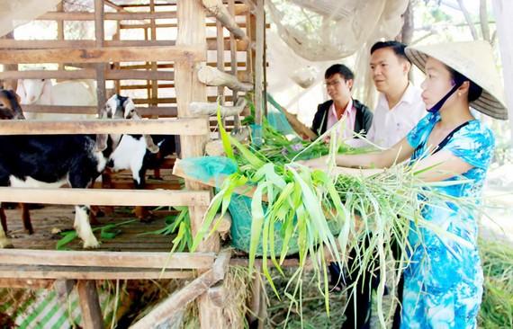 Chị Trần Thị Mỹ Huệ (xã Hồ Đắc Kiện, huyện Châu Thành, tỉnh Sóc Trăng) nuôi dê từ nguồn vốn vay hỗ trợ thoát nghèo