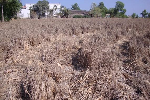 Khô hạn làm nhiều diện tích lúa bị thiệt hại ở ĐBSCL. Nguồn: ĐCSVN